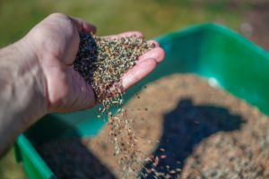 Seeding the grass for lawn maintenance